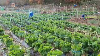 주말농장 왕초보 이정도면 배추농사 성공?