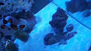 How to introduce a bubble anemone to a 3ft nano reef tank and general tank info