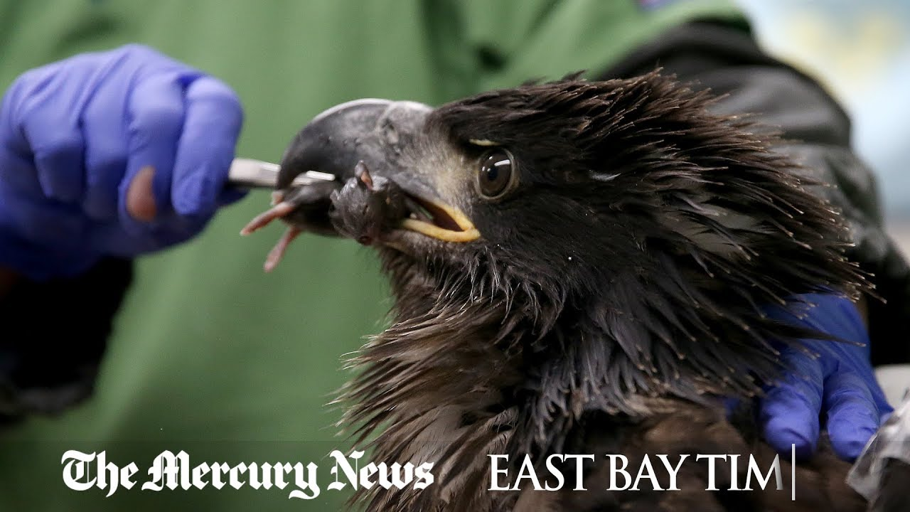 eaglet-moved-to-rehab-center-after-falling-from-nest