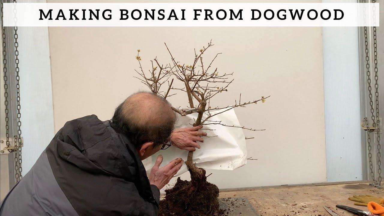 Making Bonsai From Dogwood Youtube