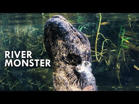 Giant Salamanders: The River Dragon