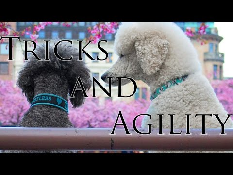 Brandy & Iris - Standard poodles - Tricks and agility