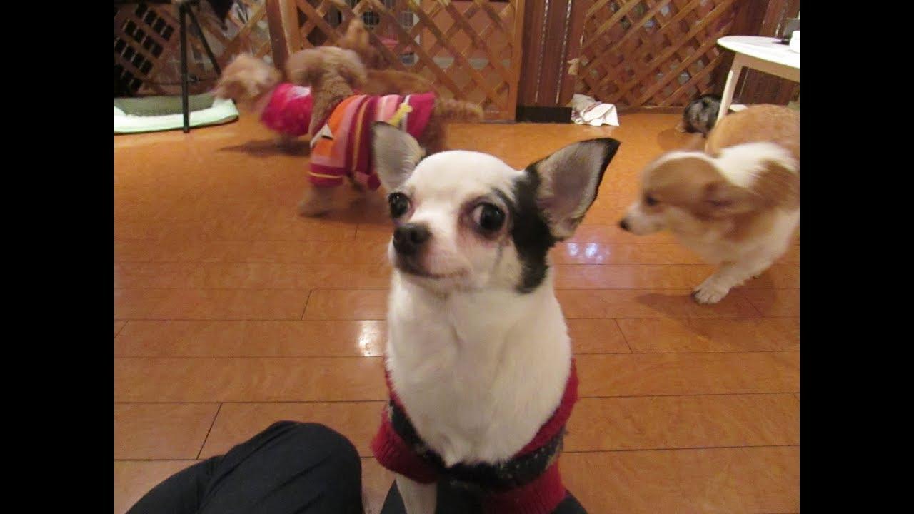 2017年12月12日の保護犬カフェ鶴橋店のワンコ達 Youtube