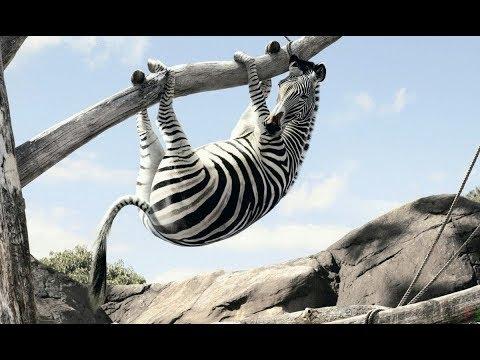 Вопрос: Как нарисовать полоски зебры?