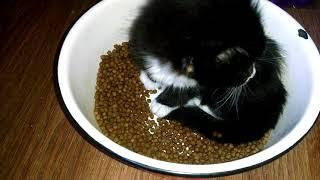 Чем кормят котят Мейн кунов  Итальянский сухой корм Монже