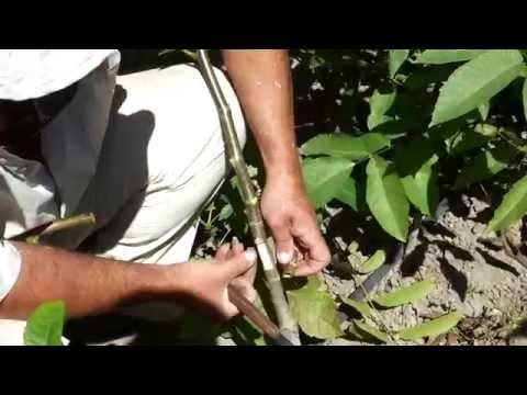 Φυτώρια καρυδιάς-φυστικιάς. Εμβολιασμός καρυδιάς