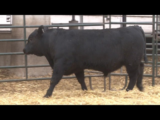 Schiefelbein Angus Farms Lot 303