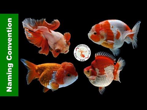 Unwritten Rules Of Goldfish NAMING: History & Convention 金鱼命名👉