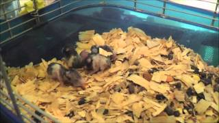 Hairless rat mother takes care of orphaned hamster babies!