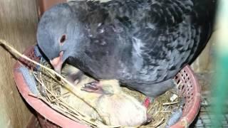 Cara burung dara merawat anaknya