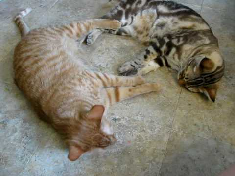 too hot to fight - Cheddar the tabby 'vs' Zeus the bengal