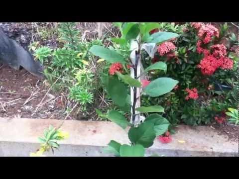 Growing Apples In The Tropics (Grenada) part 1