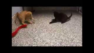 Two Different Quality Rare Color Breed Baby Kittens Playing
