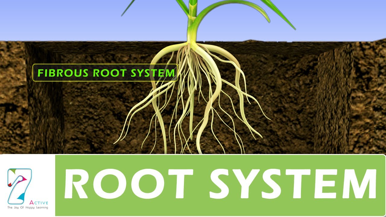 Root system youtube ccuart Choice Image