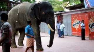 The temple elephant of Thiruchendur Murugan Temple
