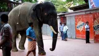 The temple elephant of Thiruchendur Murugan Temple