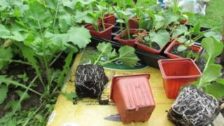 Growing Cucumbers: Trellises, Preparing the Planting Bed & Using Transplants - TRG 2016