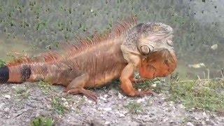 IGUANA NIRVANA - Wild Iguanas of South Florida and Florida Keys
