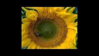 4 heures de vie entre la fleur de tournesol et les abeilles en 40 secondes...