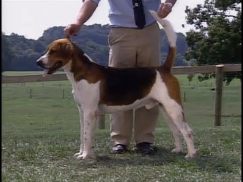 English Foxhound - Foxhound Inglés - イングリッシュ・フォックスハウンド - AKC Dog breed series