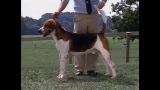 English Foxhound  Foxhound Inglés  イングリッシュ・フォックスハウンド  AKC Dog breed series