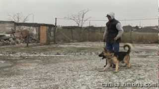 Nero (old School Gsd) Real Protection Training (not Equipment Focused)