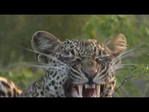 Safari Live : Thamba Male Leopard on drive...