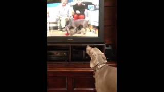 Weimaraner Barks At Other Weimie On Tv