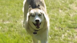 Siberian Husky Off Leash? Shiloh And Shelby Have Freedom!