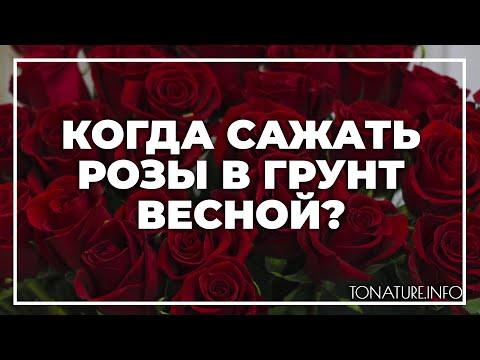 Когда сажать розы в грунт весной? | toNature.Info