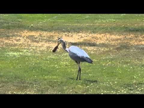 Blue Heron stalks gopher