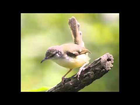 Suara Ciblek Betina Untuk Pemancing Bunyi Burung Jantan