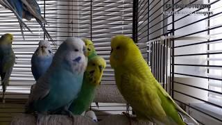 """♫  Вчимо папугу говорити. Універсальний урок 1: """"Ти мій красунчик!"""""""