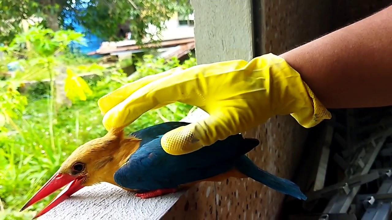 Burung Raja Udang Terlanggar Dinding Rumah Yang Sedang Kami Bina Youtube