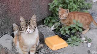 Hungry Alley Cats And Kittens Eating Wet Cat Food
