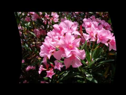 Олеандр: уход, выращивание, обрезка - Комнатные растения и