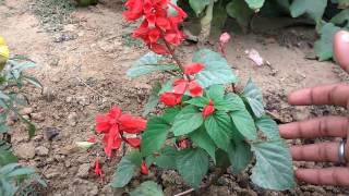 how to grow salvia care and tips    how to grow flower plant