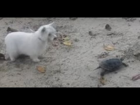 Cute Turtle Plays With Funny And Cute Dog  II Dog Attack on Turtle