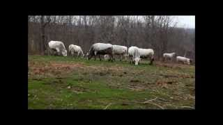 Romagnola Bred Cows