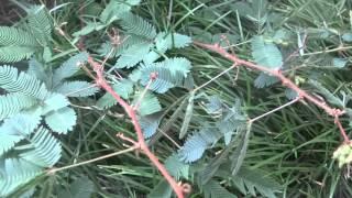 Мимоза Стыдливая, растение, которое сжимается при прикосновении.