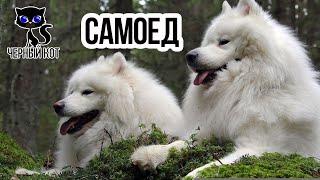Самоед / Интересные факты о собаках