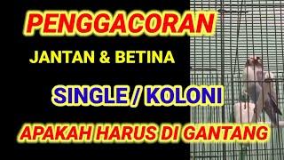 Download lagu PROSES PENGGACORAN LOVEBIRD : BONGKAR RAHASIA VERSI ARIS EXCELLENT -POINT PENTING