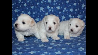 Coton Puppies For Sale - Foxy 11/26/19
