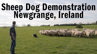 A sheep dog demonstration by Bruh, the dog, in Newgrange, Ireland. ...