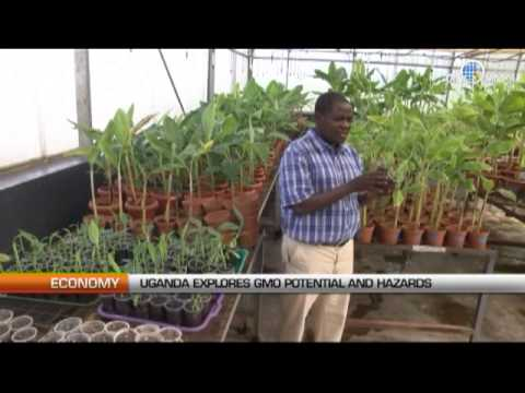 Uganda explores GMO potential and hazards