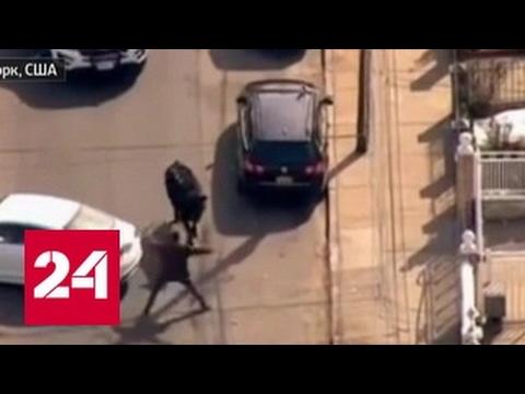 В Нью-Йорке полицейские почти час вели погоню за быком