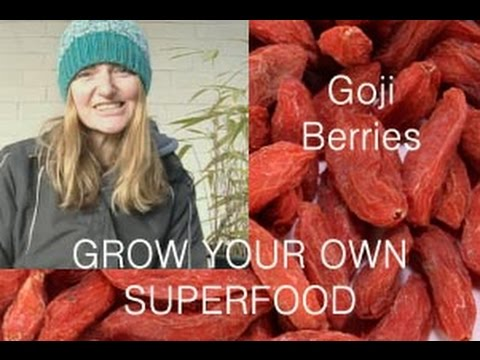 How to grow Goji Berries from seed or from dried fruit, community & urban  gardening
