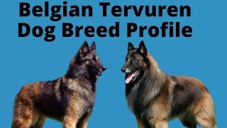 Belgian Tervuren  Dog Breed Profile