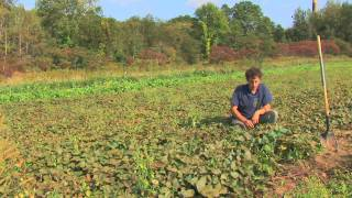 Vegetable Gardening : How To Grow Sweet Potatoes