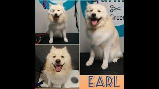 Finnish Lapphund  Earl's Dog Grooming TransFurMation